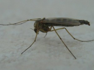 Des millions de moustiques OGM sur le point d'être commercialisés au Brésil