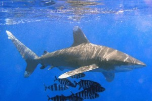Sharks, Manta Ray, Protected — International Trade, Regulated