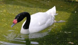 La Fuerza de los Cisnes de Cuello Negro