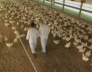 FAO: una nuova influenza aviaria in Europa minaccia il settore avicolo