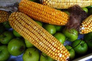 Greenpeace: approvata nuova direttiva UE sugli OGM