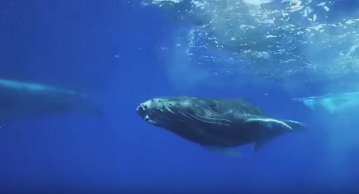Comment les baleines changent le climat. La Nature sait déjà quoi faire