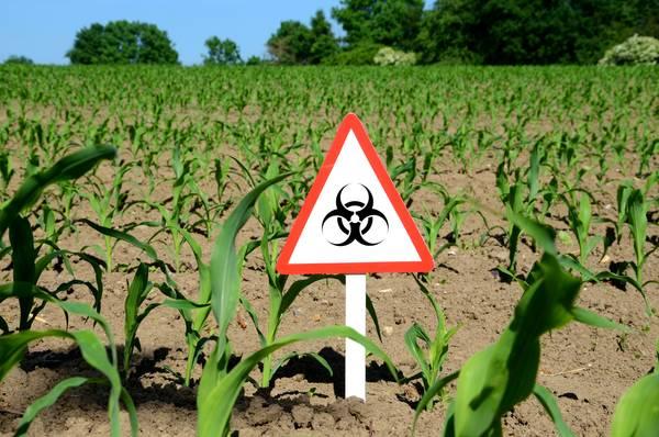 Deutschland ebnet Genmaisanbau den Weg