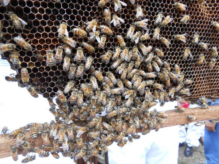 Los actuales desafíos de la apicultura de comercio justo: una mirada latinoamericana.