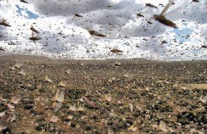 Immagini satellitari aiutano a prevedere la piaga delle locuste