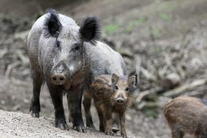 Sweden's wild boars have 'extremely high' radiation levels 31 years after Chernobyl