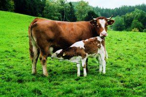 Milch oder Liebe – Vorsicht beim Kauf von Milch aus Intensivtierhaltung