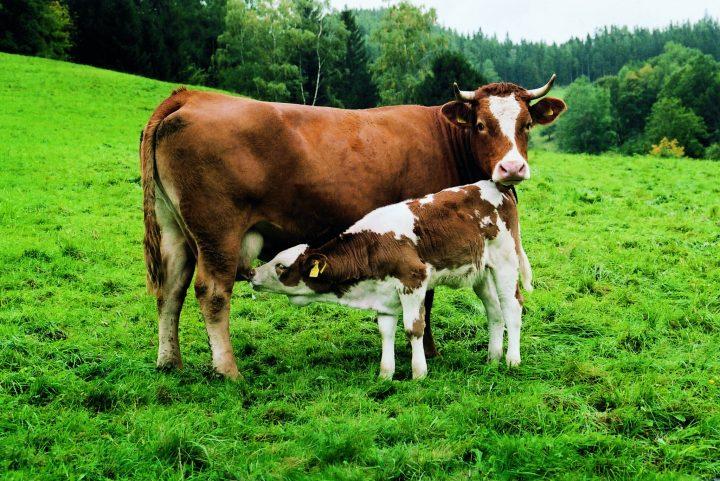 Leche o amor – Precaución al comprar leche de ganadería intensiva