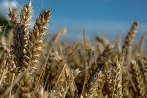 Turquía comienza a comprar trigo ruso en rublos