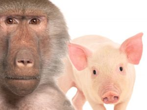 Absurde Tierversuche: Falsche Versprechen für kranke Menschen