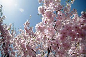 Η ιαπωνική κερασιά sakura ανθίζει στο Βερολίνο και φέρνει ειρήνη και ηρεμία