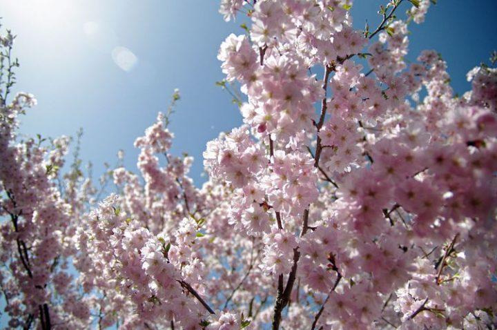 I fiori di ciliegio attraversano Berlino espandendo pace e tranquillità