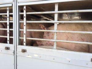 Hitzewelle: Deutsches Tierschutzbüro fordert Verbot von Tiertransporten, in Frankreich gilt Verbot bereits