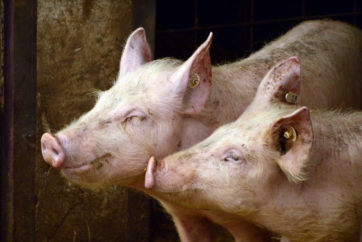 Un milione di europei scrivono la storia per gli animali negli allevamenti