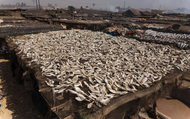 Produzione di farine di pesce per allevamenti intensivi minaccia i mari e ruba cibo