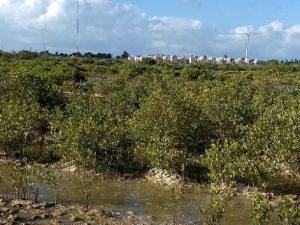 Manglares latinoamericanos ganan valor climático como carbono azul