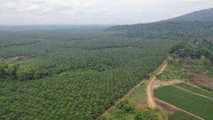 Les Bagyéli menacés par les plantations industrielles au sud-Cameroun