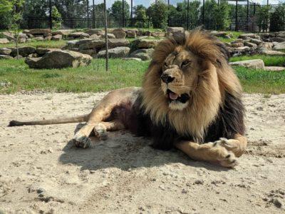 Barbary Lion from Keystone Safari, Grove City Pennsylvania. Wikimedia Commons